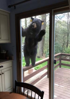 Urso tenta entrar em casa nos EUA para comer brownies