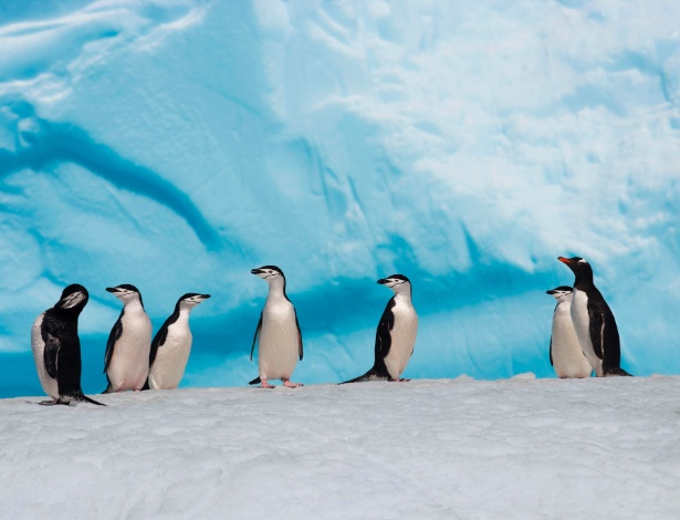 VÍTIMAS DO AQUECIMENTO GLOBAL - A população de pinguins de Adélia tem registrado quedas acentuadas. Para os cientistas, elas estão ligadas ao aquecimento global. Suas colônias na Antártida chegaram a sofrer queda de 80% desde a década de 1970