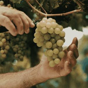 As uvas são selecionadas a mão no próprio vinhedo e colocadas em caixas - Divulgação/Casa Perini