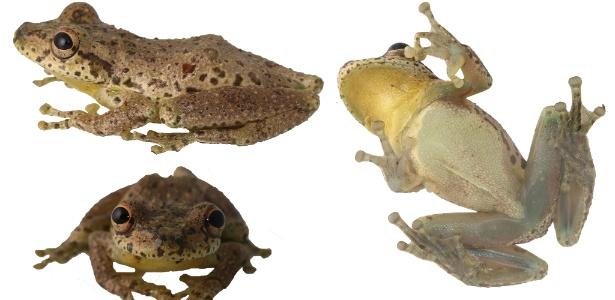 A espécie Scinax caprarius, que habita áreas da Colômbia e produz um som similar ao das cabras - Andres Acosta/Humboldt Institute/AFP