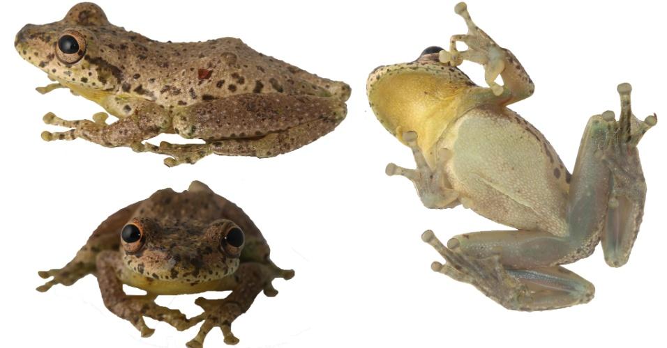 A espécie Scinax caprarius, que habita áreas da Colômbia e produz um som similar ao das cabras