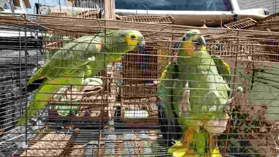 Papagaios apreendidos durante operação na Área de Proteção Ambiental (APA) de Murici, em Alagoas - Divulgação/Marcos Antônio Freitas
