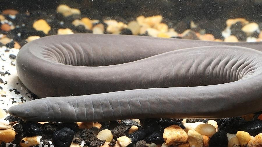 Cobra pênis, da espécie Typhlonectes natans - Reprodução/Florida Museum