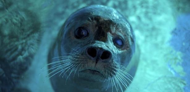 Não tem orelha? Então é uma foca