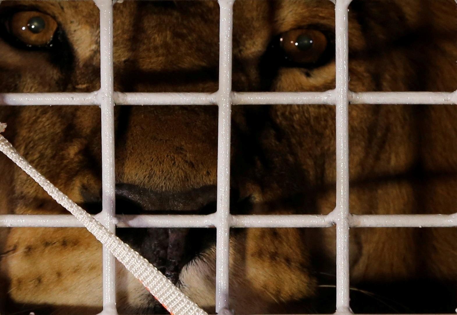 30.abr.2016 - Um dos 33 leões de circo que foram resgatados no Peru e na Colômbia e serão levados para um santuário de grandes felinos na África do Sul observa por entre as grades de sua jaula ao chegar em Joanesburgo, no país africano, última escala antes do destino final