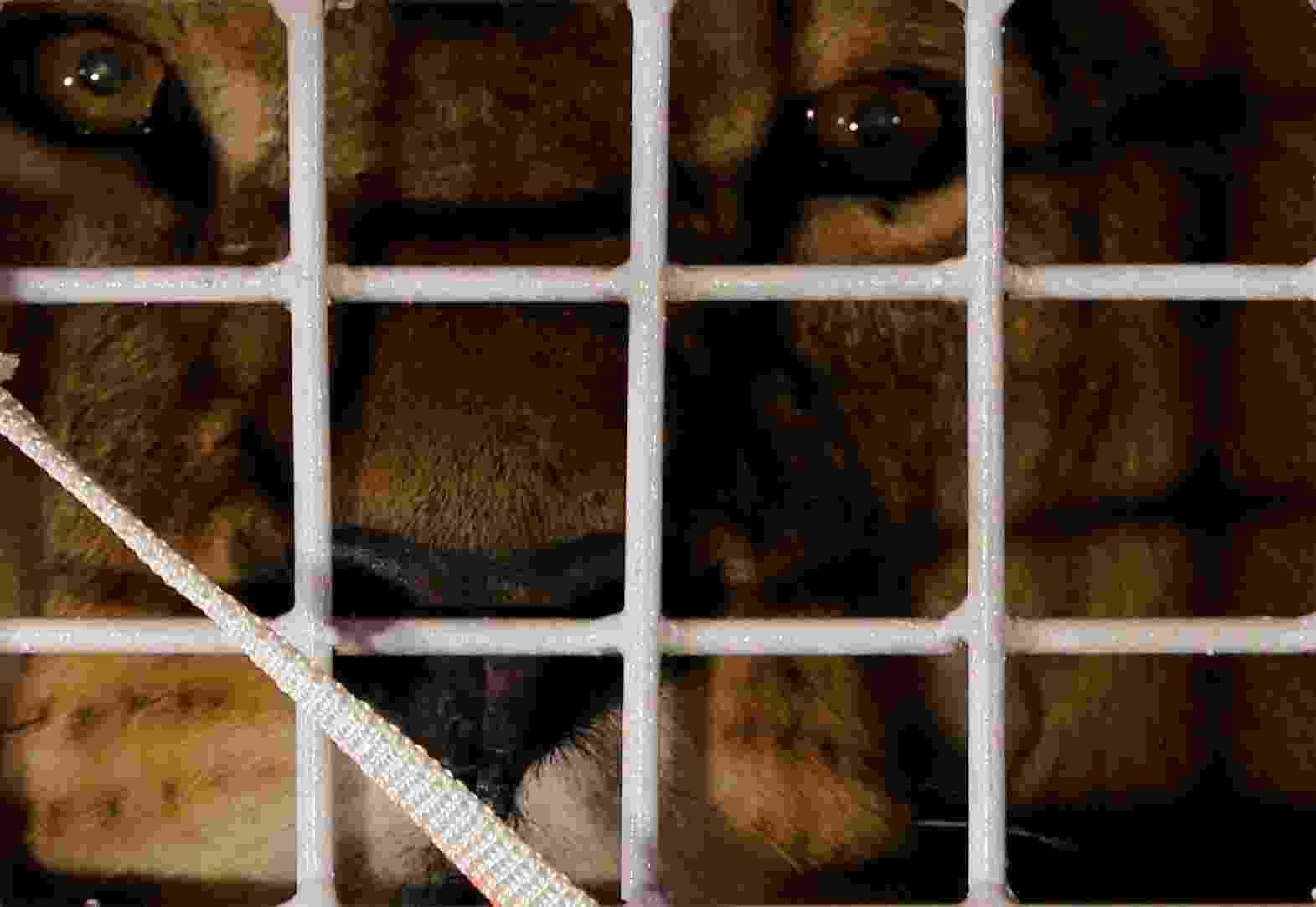 30.abr.2016 - Um dos 33 leões de circo que foram resgatados no Peru e na Colômbia e serão levados para um santuário de grandes felinos na África do Sul observa por entre as grades de sua jaula ao chegar em Joanesburgo, no país africano, última escala antes do destino final - Siphiwe Sebeko/Reuters