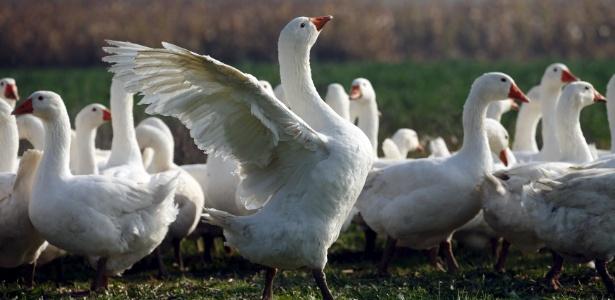 Prefeitura tentou se livrar de gansos com sirenes, cachorros e coletando ovos no ninho