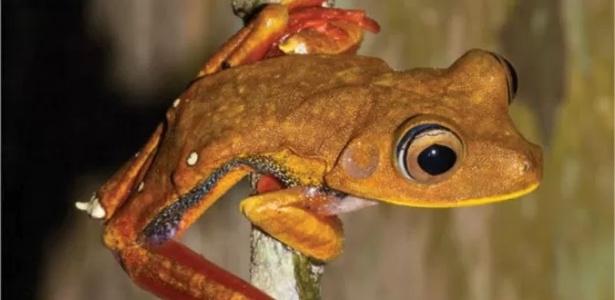 Exemplares da perereca <i>Hypsiboas diabolicus</i> foram encontrados nos munic&#237;pios Oiapoque, Laranjal do Jari e Mazag&#227;o, no Amap&#225;, e na Guiana Francesa
