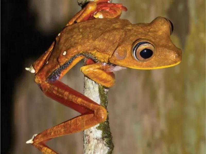 7.mar.2016 - Exemplares da perereca Hypsiboas diabolicus foram encontrados nos municípios Oiapoque, Laranjal do Jari e Mazagão, no Amapá, e na Guiana Francesa