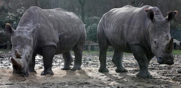 Os rinocerontes Bruno (dir) e Gracie, no zoológico Thoiry, na França