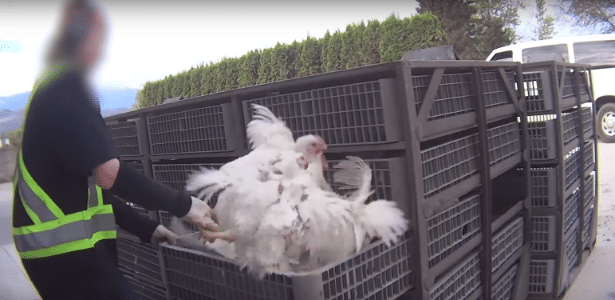 Galinhas são tratadas com crueldade pelos funcionários que as levariam a matadouro