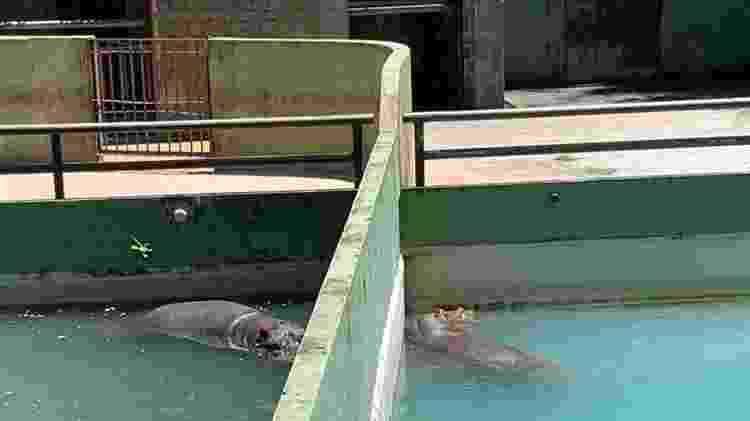 Casal de hipopótamos separado por um muro no Zoológico do Rio - Divulgação