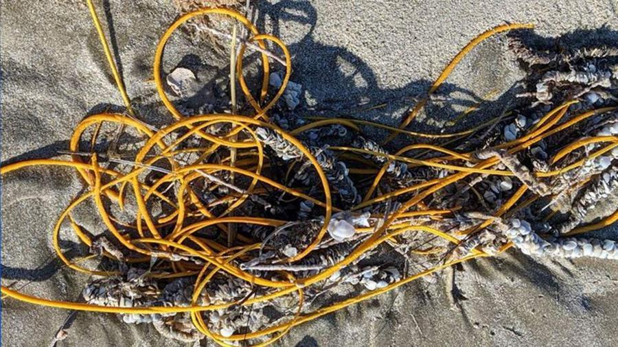 """""""Chicote do mar"""" avistado na ilha de Padre, na costa do sul do Texas (EUA) - Reprodução/Padre Island National Seashore/Facebook"""