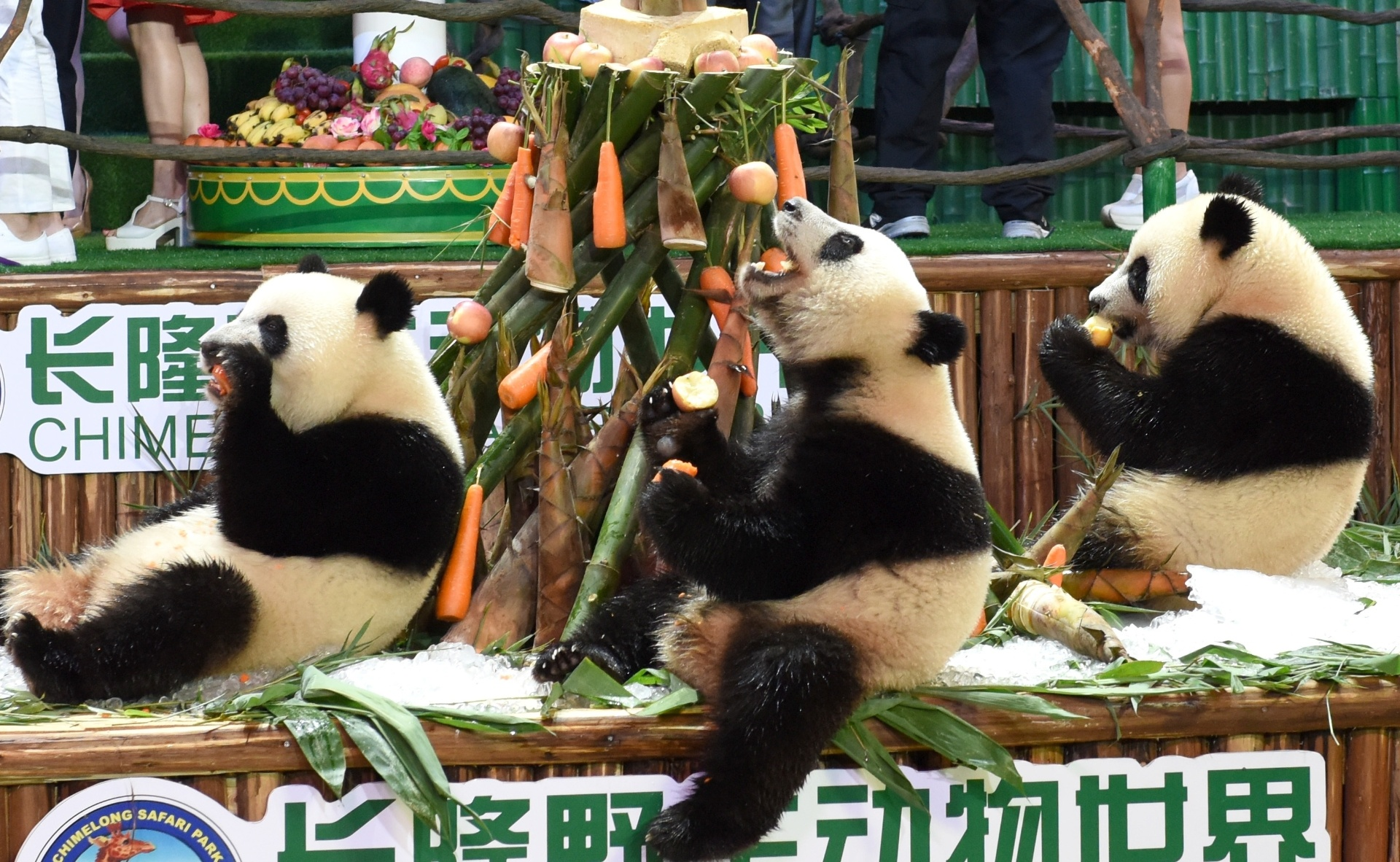 29.jul.2016 - Pandas-gigantes trigêmeos comem bambus e cenouras durante festa de aniversário em Guangzhou, na China. O trio celebra o segundo aniversário como únicos pandas trigêmeos sobreviventes do mundo