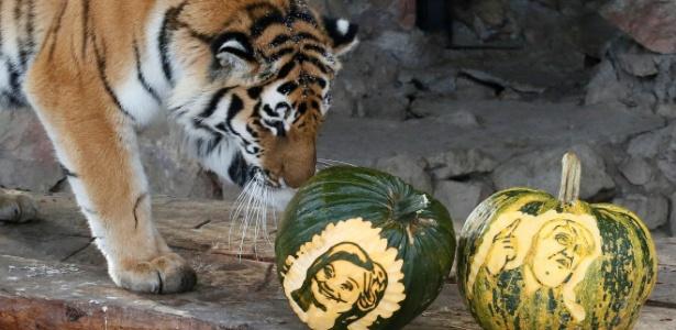 Na eleição presidencial dos EUA, até previsão dos animais conta: a tigresa Yunona ficou com Hillary