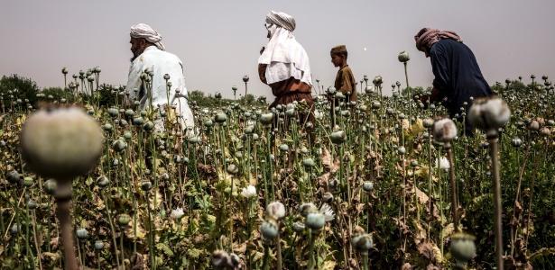 Agricultores afegãos cultivam a papoula no distrito de Nad Ali, na província de Helmand, no Afeganistão