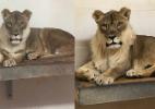 Leoa de zoológico nos EUA desenvolve juba igual à de um leão (Foto: Reprodução/Facebook/Oklahoma City Zoo and Botanical Garden)