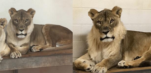 A leoa Bridget antes e depois de desenvolver sua juba