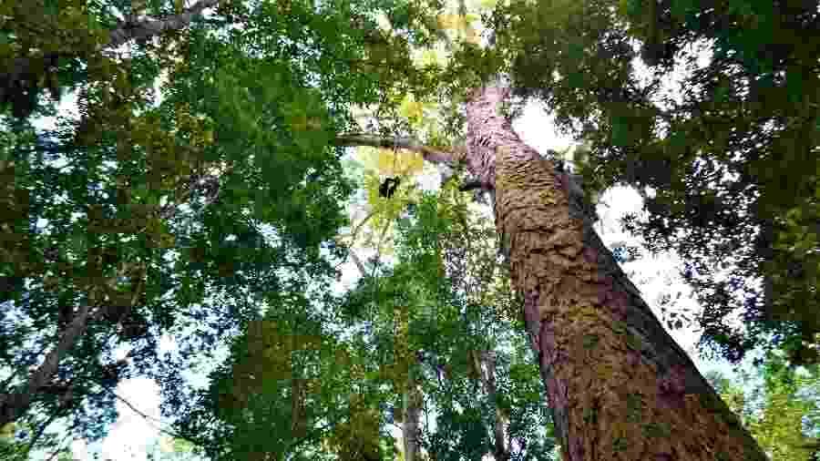 Maior árvore da Amazônia tem 88 metros de altura e 5,5 metros de circunferência - AFP Photo/Setec/Rafael Aleixo/HO