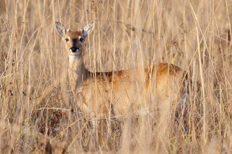 Vários animais do Cerrado, como o cervo, podem ser vistos no Parque Nacional das Emas