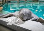 Peixe-boi mais velho do mundo em cativeiro morre aos 69 anos na Flórida (Foto: Reprodução/Facebook/South Florida Museum)