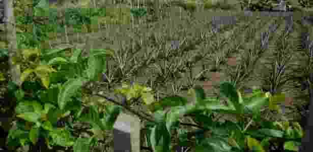Plantação em Arapiraca (AL) após volta das chuvas ao semiárido - Beto Macário/UOL