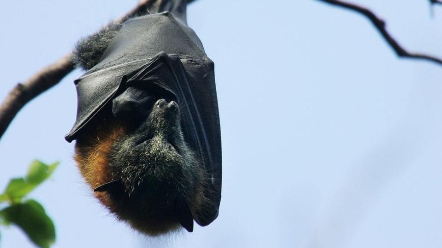 Acredita-se que a covid-19 tenha surgido em morcegos e passado aos humanos através de outro animal, ainda não identificado - Huw Evans picture agency