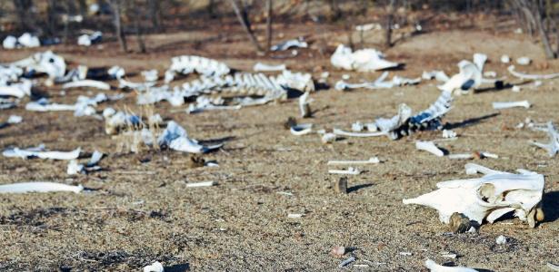 8.fev.2017 - Na área rural de Quixeramobim (CE), carcaças de bois e jumentos ficam abandonadas ao sol, na pior seca enfrentada no Nordeste em cem anos