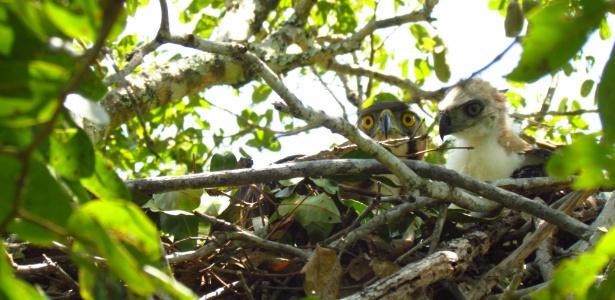 Casal de gavião-de-penacho é monitorado em ninho em Mato Grosso do Sul