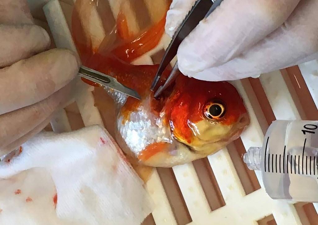 31.mai.2016 - Um peixe passou por uma cirurgia para remover um tumor em um hospital veterinário em Bristol, na Inglaterra. O peixinho Nemo foi sedado durante a operação de 45 minutos. O animal se recuperou e foi devolvido a água