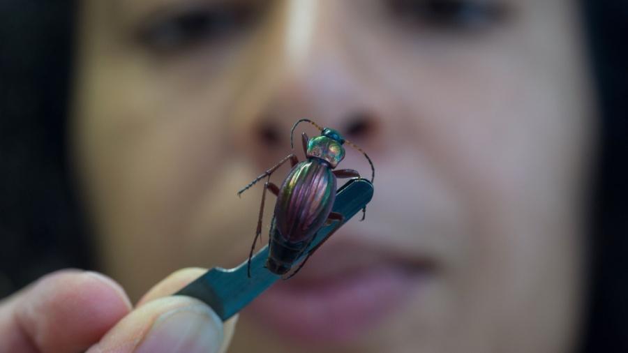 22.out.2015 - Mulher observa besouro para pesquisa em laboratório de Nogent-sur-Vernisso, na França - Guillaume Souvant/AFP