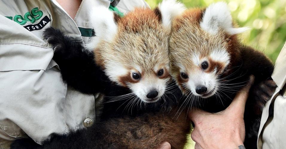 2.mar.2016 - Os pandas-vermelhos Mandu e Keta, que nasceram no último mês de dezembro, aparecem nas mãos de funcionários do zoológico de Melbourne, na Austrália. Ambos passaram por vacinação durante a primeira aparição pública nesta quarta