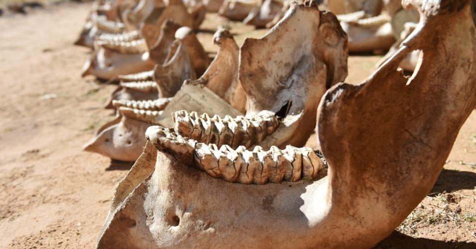 3.mar.2016 - Maxilar ossos de elefantes que morreram de caça furtiva são alinhados no acampamento STE (Salve os Elefantes), na Reserva Nacional de Samburo, no Quênia. O norte dessa região é onde vive o segundo maior grupo de várias espécies de elefantes do país. A STE atua no local há 18 anos, lutando contra a caça do animal. Hoje, se celebra o Dia Mundial da Natureza, que traz como um dos temas principais a preservação dos elefantes