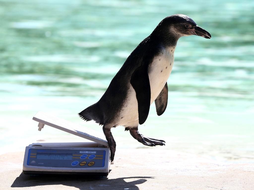 25.ago.2016 - Um pinguim não quis saber das normas e pulou da balança durante um exame de pesagem anual no zoológico de Londres, na Inglaterra