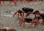 Baía dos Porcos é invadida por milhões de caranguejos (Foto: BBC/Reprodução)