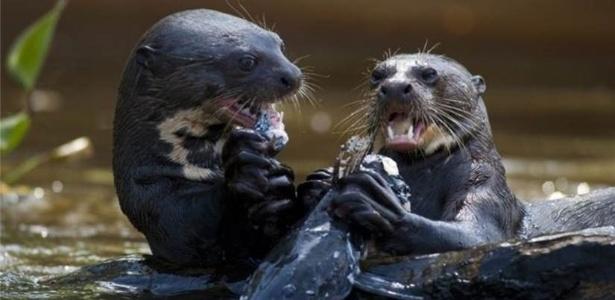 Nos últimos anos, vários moradores de comunidades na bacia do rio Içana, no noroeste do Amazonas, chegaram a topar com os mamíferos  - Getty Images