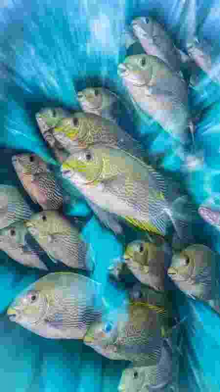 O inglês Nick More ganhou a categoria para a fotógrafos britânicos com uma imagem de peixes Siganus, feita na Indonésia - Nick More - Nick More