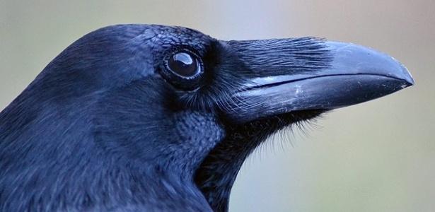 Como humanos, corvos são capazes de planejar e têm autocontrole, aponta estudo