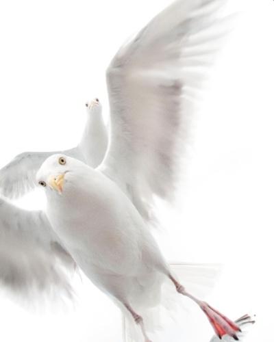"""A foto das gaivotas rendeu o prêmio na categoria """"menos de 10 anos de idade"""" a Ekaterina Bee, da Itália. A menina, que tem cinco anos, conseguiu registrar a pose dessas aves ao jogar um pouco de pão para elas durante um passeio de barco na costa da região central da Noruega."""