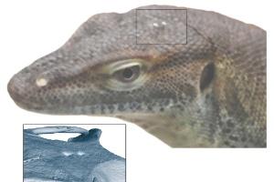 Por que os lagartos têm um 'terceiro olho' (Foto: Instituto Senckenberg/Divulgação)