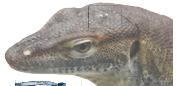 Fóssil analisado por Smith pertence ao único animal conhecido com mandíbula e quatro olhos - Instituto Senckenberg/Divulgação