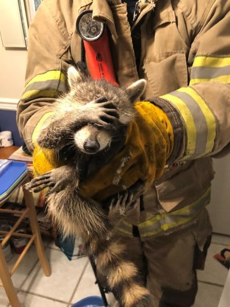 Guaxinim pareceu constrangido em resgate nos EUA - Divulgação/City of Dalton Fire Department