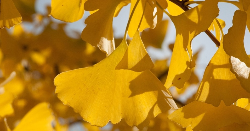 A Ginkgo, uma árvore originária da China, é a única sobrevivente de uma família de plantas que precede os dinossauros. A árvore da imagem está em Maryland, EUA