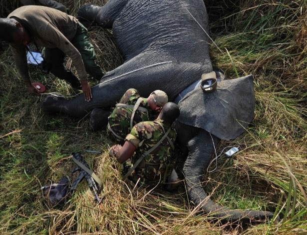 10.fev.2016 - Uma fêmea de elefante recebe um colar com GPS no Parque de Garamba, na República Democrática do Congo. O local tomou uma série de medidas, incluindo a duplicação das patrulhas e aumento da vigilância aérea, para evitar a caça dos animais na região
