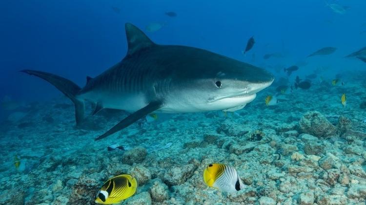 Examinadores encontraram a mão e a aliança de casamento do homem dentro de um tubarão-tigre - Getty Images - Getty Images