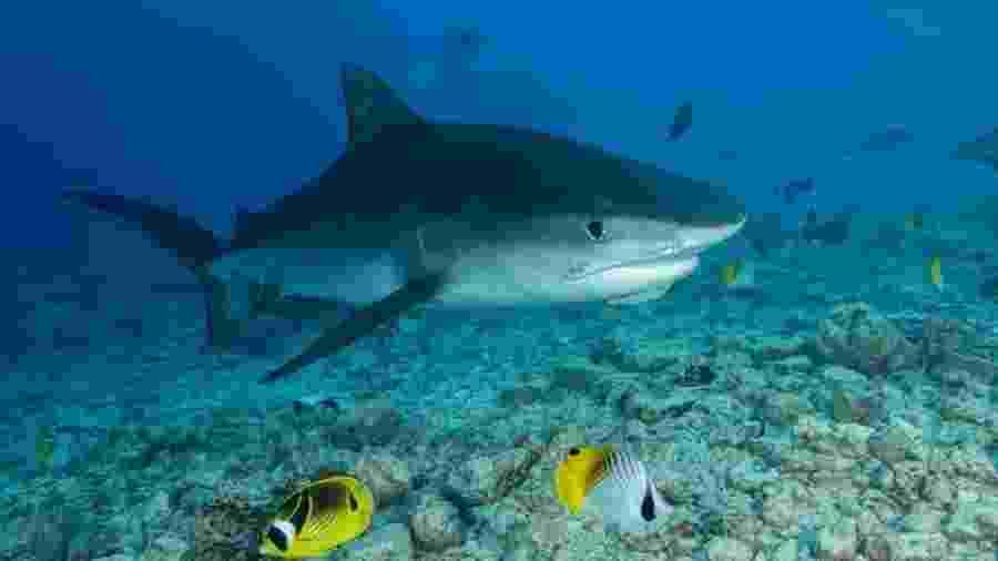 Examinadores encontraram a mão e a aliança de casamento do homem dentro de um tubarão-tigre - Getty Images