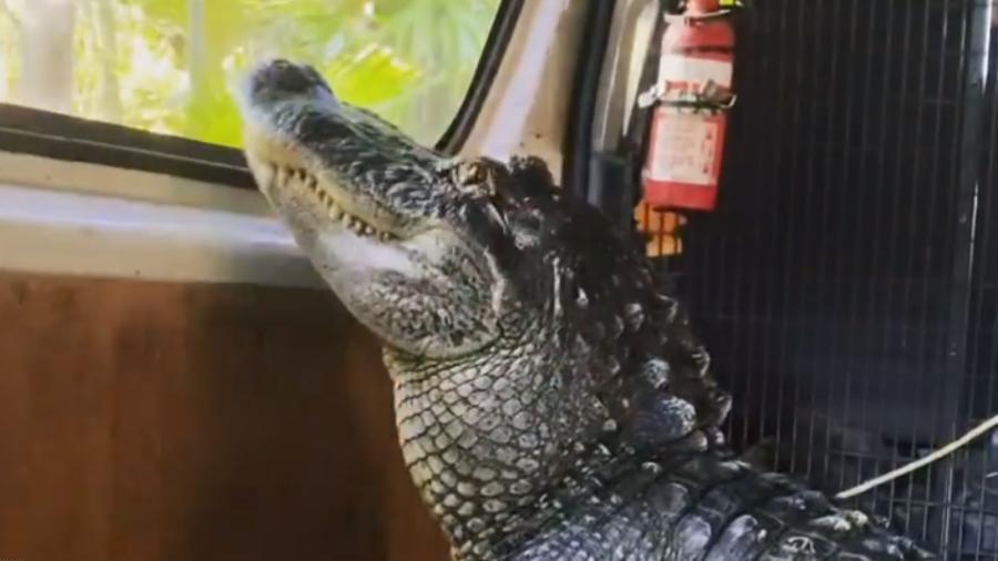 """Crocodilo Sanchez """"curte"""" passeio de carro em vídeo do filho do ambientalista Steve Irwin - Reprodução/Instagram/@robertirwinphotography"""