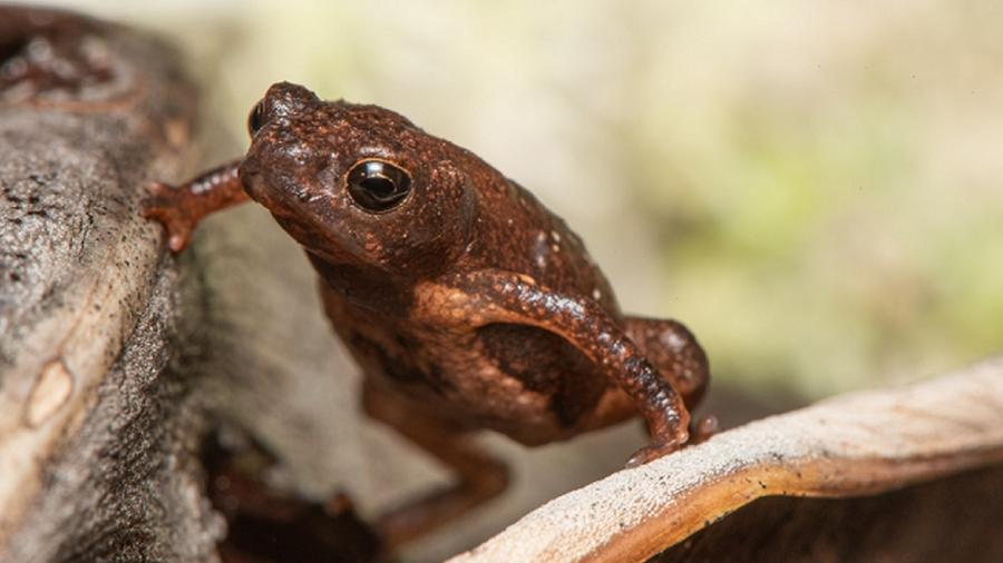 Sapinho-da-restinga, que mede menos de 2cm, só existe em uma pequena área no Espírito Santo e foi pouco estudado até agora - Pedro Peloso-Projeto DOTS