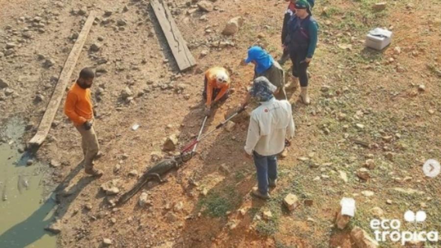 Cerca de 70 jacarés desnutridos e desidratados foram translocados de um corixo seco do Rio Pixaim, em Poconé (Mato Grosso) - Reprodução/Instagram/ecotropica