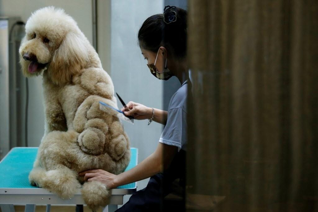 20.jun.2016 - Um pet shop de Tainan, em Taiwan, inovou na tosa e começou a desenhar nos pelos dos animais. Um dos cachorros que fez o corte ousado ganhou um bichinho de pelúcia em suas costas